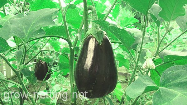 Grow netting it's very useful to enhance eggplants