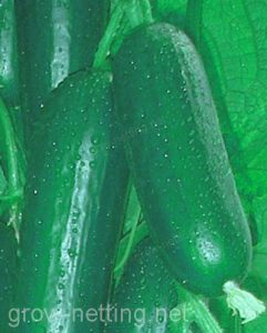 High quality cucumbers thanks to grow netting tutoring system