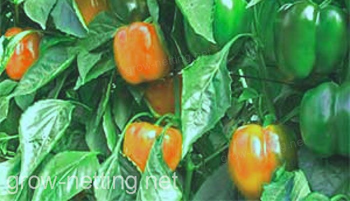 orange peppers can also be benefited by HORTOMALLAS grow netting