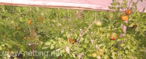 tomato crop growing with the tutoring net HORTOMALLAS